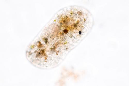 Amoebiasis parasite