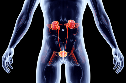 Bladder and urinary system