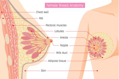 Fibroadenoma diagram