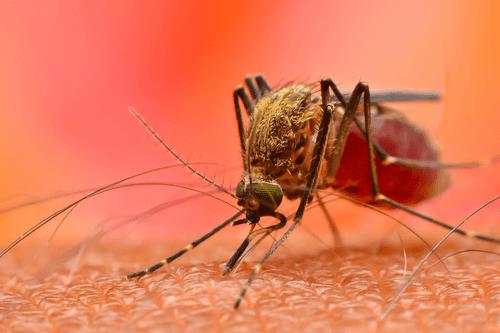 CHIKUNGUNYA FEVER mosquito