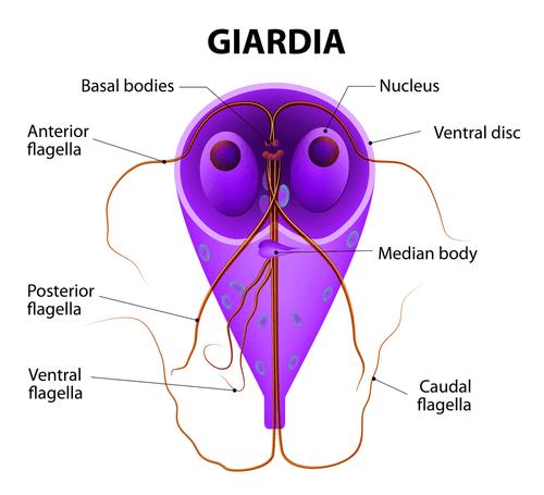 Giardiasis parasite