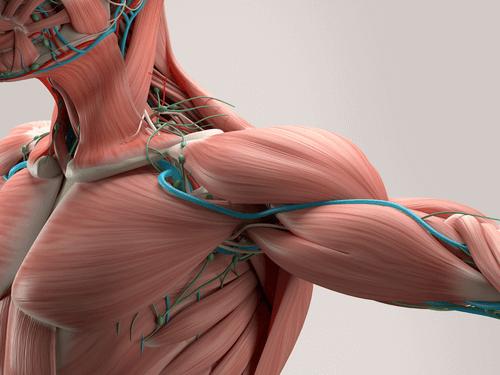Muscular dystrophy human