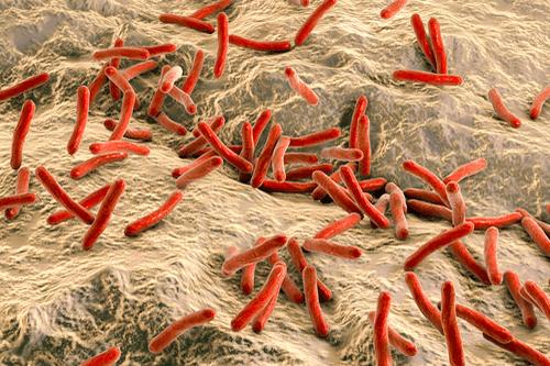 LEPROSY bacteria