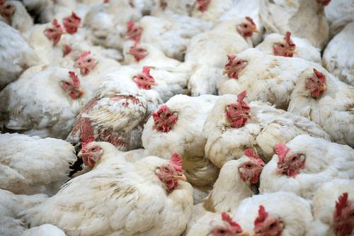 Avian Flu hens
