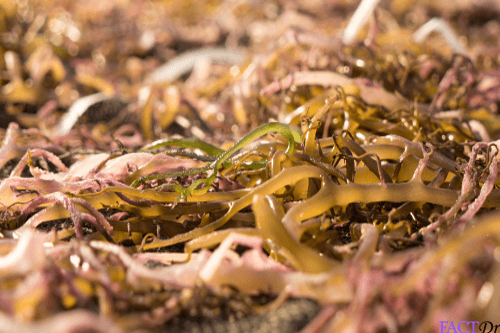 carrageenan seaweed