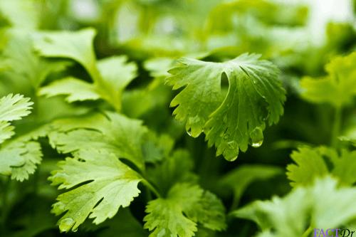 cilantro healthy